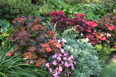 Varieties of Coleus Plants - Tom's Garden - Photo by Ron Patterson