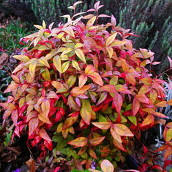 Dwarf Fire Power  Nandina