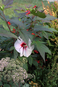 Hearty Hibiscus - Tom's Garden - Photo by Ron Patterson