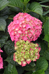 Photo of Hydrangea