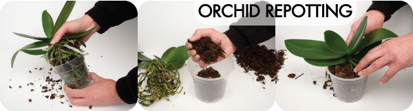Orchid Repotting