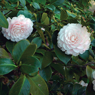 Photo of Camellia