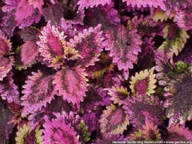 Photo of Coleus