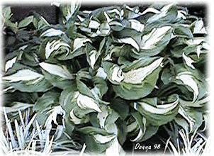 Photo of Hosta