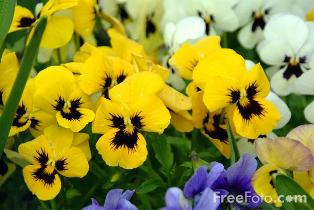 Photo of Pansies