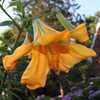 Photo of a Day Lily - Tom's Garden 2011