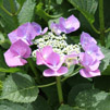 Photo of a Hydrangea - Tom's Garden 2011