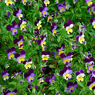 Photo of Viola, a smaller pansy, in flower
